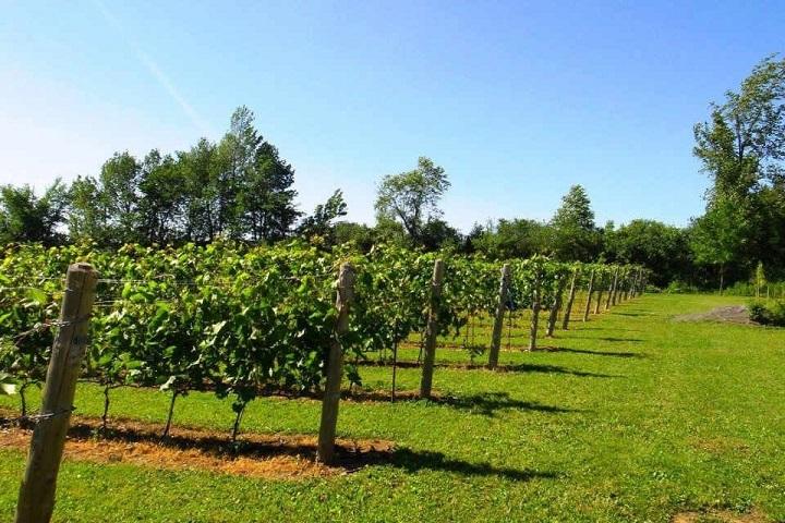 Vignoble Émile-Auguste ,oenotourisme ,visite de vignobles ,cépages ,dégustation ,Montérégie, Sélection Vindici ,Sud du Québec ,