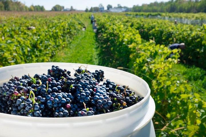 Vignoble Kobloth ,oenotourisme ,visite de vignobles ,cépages ,dégustation ,Montérégie, Sélection Vindici ,Sud du Québec ,
