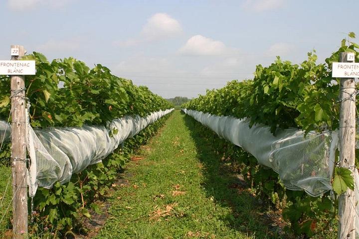 Vignoble Bourg des Cèdres ,oenotourisme ,visite de vignobles ,cépages ,dégustation ,Montérégie, Sélection Vindici ,Sud du Québec ,