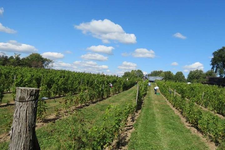 Vignoble Clos de l'Orme Blanc ,oenotourisme ,visite de vignobles ,cépages ,dégustation ,Cantons de l'Est ,Estrie ,Sélection Vindici ,Sud du Québec ,