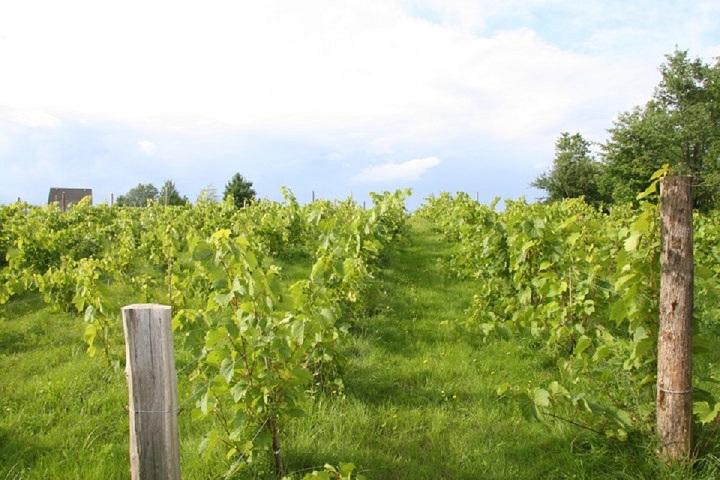 Vignoble d'Orford ,oenotourisme ,visite de vignobles ,cépages ,dégustation ,Cantons-de-l'Est ,Estrie , Sélection Vindici ,Sud du Québec ,