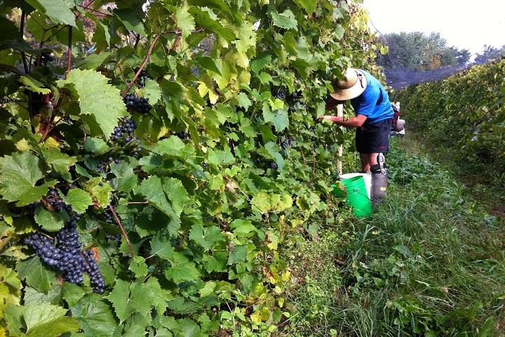 Vignoble Les Pervenches ,oenotourisme ,visite de vignobles ,cépages ,dégustation ,Cantons de l'Est, Estrie ,Sélection Vindici ,Sud du Québec ,