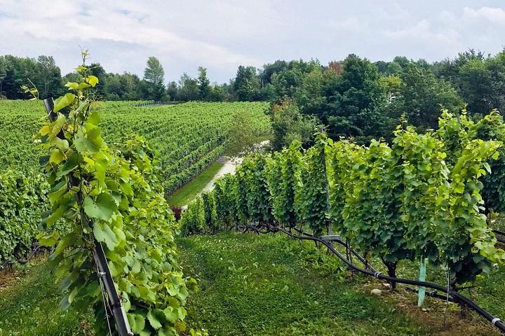 Vignoble Pigeon Hill ,oenotourisme ,visite de vignobles ,cépages ,dégustation ,Cantons de l'Est, Estrie ,Sélection Vindici ,Sud du Québec ,