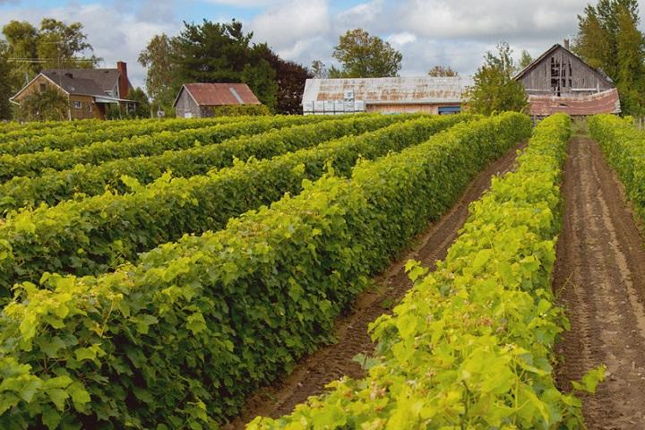 Vignoble des Salamandres ,oenotourisme ,visite de vignobles ,cépages ,dégustation ,Montérégie, Sélection Vindici ,Sud du Québec ,