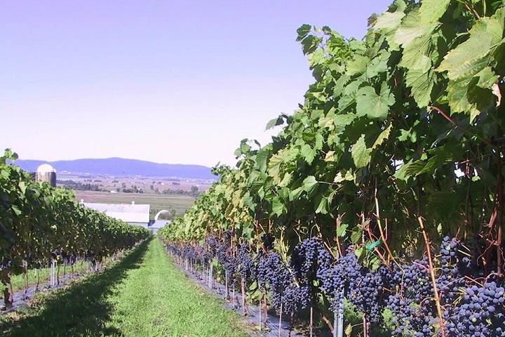 Vignoble Petits Cailloux ,oenotourisme ,visite de vignobles ,cépages ,dégustation ,Montérégie, Sélection Vindici ,Sud du Québec ,