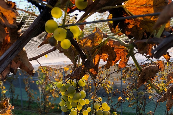 Vignoble Oak Hill ,route des vignobles ,Sud du Québec ,oenotourisme ,tourisme du vin ,Cantons de l'Est ,sélection Vindici ,